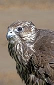 pic of shivering  - A hawk ruffles its feathers and shivers - JPG