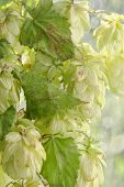 Green Hop Cones Branch With Leafs.beer Production.