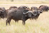 african buffalo herd on grassland