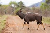 Nyala walking in african wild bush