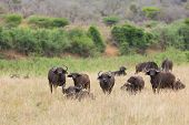 buffalo herd in southern african bush