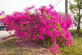 A Pink Bougainvillea Tree Located By The Road