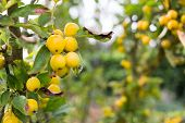 Bright Yellow Berries On A Tree