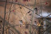 picture of songbird  - Sparrow birds on the twig in winter