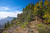 picture of parador  - Gran Canaria Caldera de Tejedawalking path to Artenara village Canarian Pines - JPG