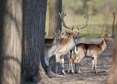 stock photo of deer family  - Fallow deer family standing in forest and looking at camera - JPG