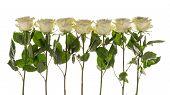 stock photo of single white rose  - seven beautiful white delicate fragrant roses on a white background horizontal - JPG