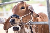 picture of cattle breeding  - Beef cattle is wait for judging contest - JPG
