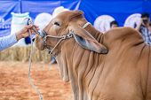 image of cattle breeding  - Beef cattle showing body in judging contest - JPG