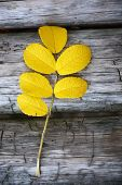 picture of dog-rose  - Dog rose twig at the autumn season on the wooden background - JPG