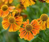 image of black-eyed susans  - Macro image Black Eyed Susan Summer flower - JPG