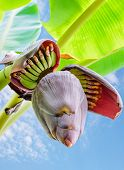 image of bunch bananas  - Banana blossom and bananas bunch close up - JPG