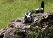 image of skunk  - Two Baby Skunks Exploring a fallen tree trunk