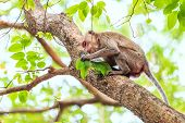 stock photo of crab  - Monkey (Crab-eating macaque) on tree in Thailand ** Note: Soft Focus at 100%, best at smaller sizes - JPG