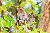 picture of macaque  - Monkey family  - JPG