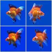 stock photo of goldfish  - collection of beautiful goldfish in fish tank - JPG