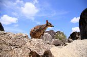 picture of wallabies  - Mareeba Rock Wallaby (Petrogale mareeba) in Cairns, Australia