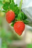 stock photo of gents  - Strawberry growth in the strawberr farm in Genting Malaysia - JPG