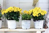 picture of gerbera daisy  - Cluster of Gerbera Daisy flowers in white pots - JPG