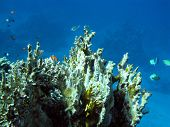 foto of fire coral  - colorful coral reef at the bottom of tropical sea with great soft coral and exotic fishes on a background of blue water underwater - JPG