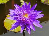 foto of species  - The Blue lotus so beautiful species in Thailand - JPG