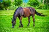 foto of beautiful horses  - Dark beautiful horse grazing in the field - JPG