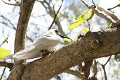 foto of tern  - White tern sits on his chick on a tree branch - JPG