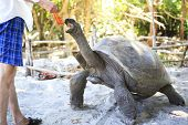 picture of tortoise  - Aldabra giant tortoise reaching for the leaves in hand of tourist - JPG