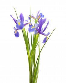 image of purple iris  - dark purple iris open flowers isolated on white background - JPG