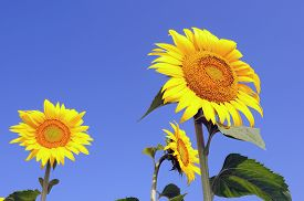 stock photo of species  - Close up of the sunflower - JPG