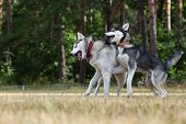 foto of dry grass  - Puppy of Siberian Husky plays with adult Husky - JPG