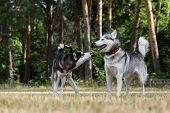 image of dry grass  - Puppy of Siberian Husky plays with adult Husky - JPG