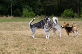 image of dry grass  - Two husky and beagle is playing in the meadow - JPG