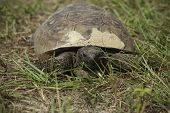 picture of gopher  - A close up of a gopher tortoise - JPG