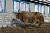 stock photo of yaks  - Yak standing in front of a lodge in Gokyo - JPG