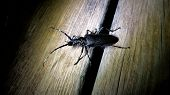 image of longhorn  - Male Great Capricorn beetle Cerambyx cerdo a Cerambycidae longhorn beetle spotted at night Larvae usually feed - JPG