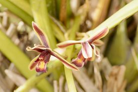 foto of epiphyte  - Cymbidium aloifolium with the distribution of species in Southeast Asia - JPG