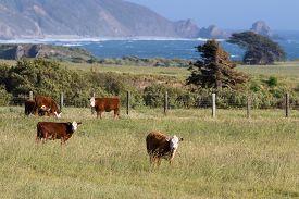 stock photo of calf  - healthy calfs roaming on open grass lands on the California coast - JPG