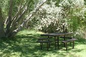 Picnic Table Under Cottonwood Trees