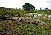Massive American Crocodile, Tarcoles River, Costa Rica, Central America