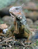 Green Iguana, Male Adult, Guanacaste, Costa Rica, Central America