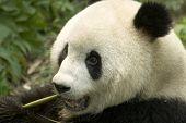 close-up eating big panda photo