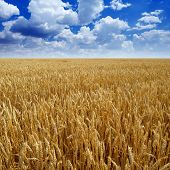 Wheaten field.