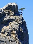 Pine on a rock.