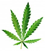Leaf of hemp on white background (isolated).