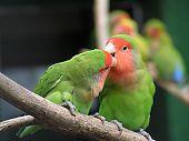 Постер, плакат: Птицы любви