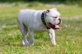 English Bulldog Walking