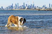 St Bernard dog splashing at the beach.  Skyline of Melbourne, Australia behind, viewed from Brighton poster
