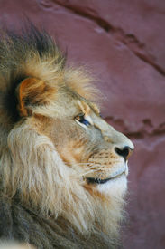 pic of lions-head  - proud lion head on the red rocks - JPG