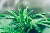 Cannabis Flower Indoor Growing. Grow Legal Recreational Cannabis. Northern Light Strain. Planting Ca poster